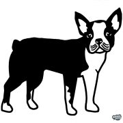 Boston terrier matrica 4